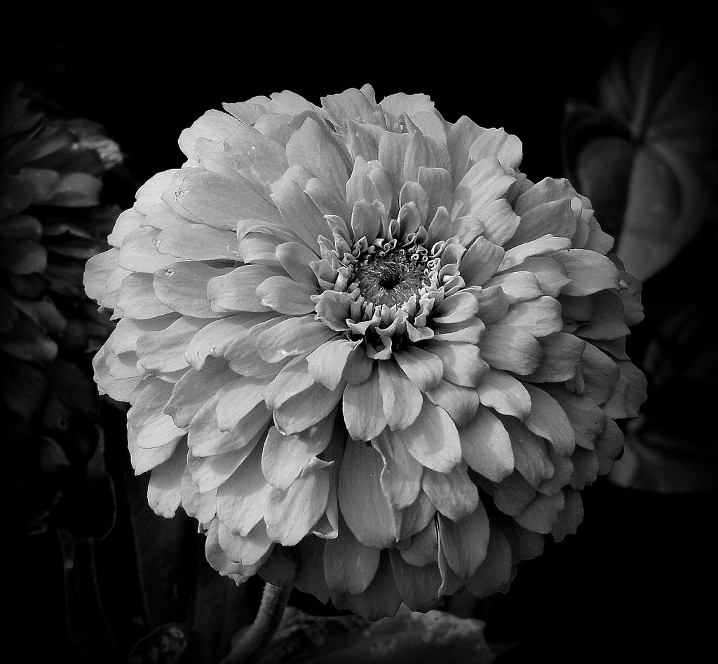 Marigold in Black and White by homeschoolmom