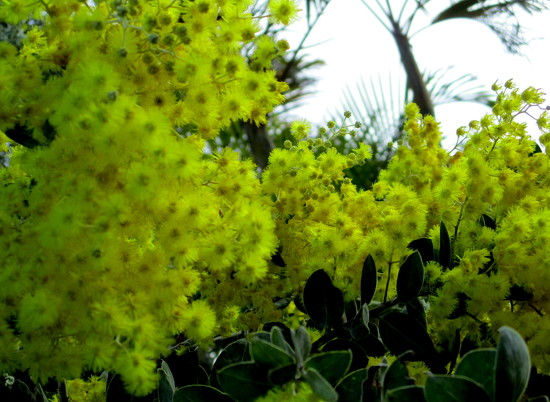 golden Wattle, flowering in our village by 777margo