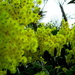 golden Wattle, flowering in our village