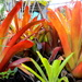Colourful Bromeliads
