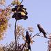 Four Black Cockatoos