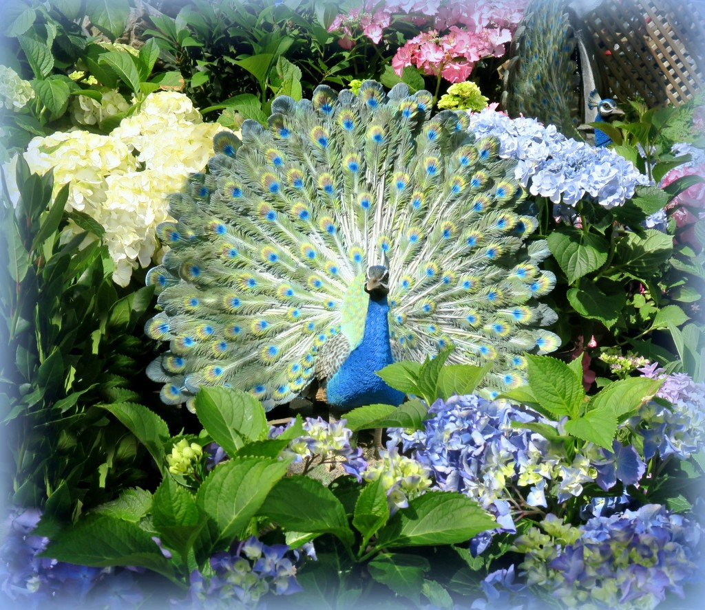 Proud Peacock. by wendyfrost