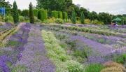 13th Jul 2018 - Yorkshire Lavender