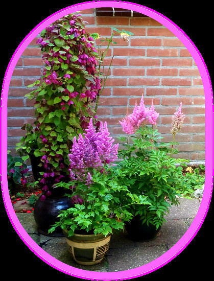 pink and purple plants in the patio by gijsje
