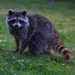 A Machiasport raccoon