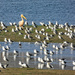 A flock of Gulls,