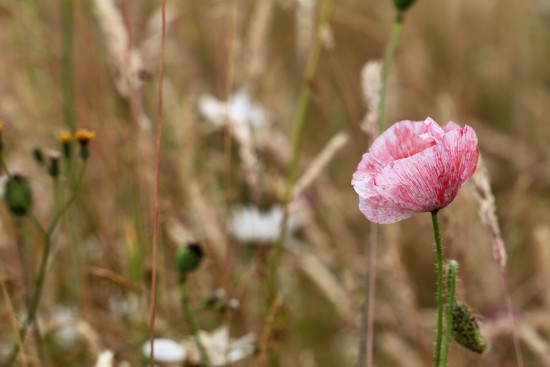 Pink Poppy by phil_sandford
