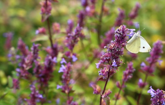 Cabbage White by phil_sandford