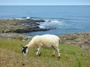 14th Jul 2018 - Sheep with a view