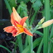 garden day lily