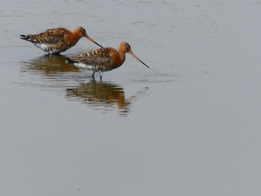 2 Godwits by snoopybooboo