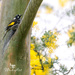 New Holland Honeyeater by ulla