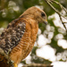 Thank Goodness for the Red Shouldered Hawks!