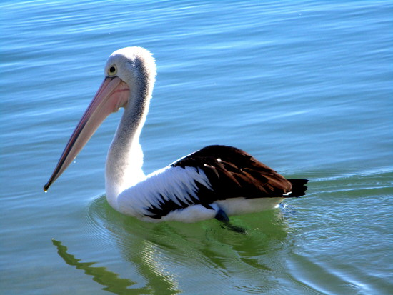 friendly Queensland Pelican by 777margo