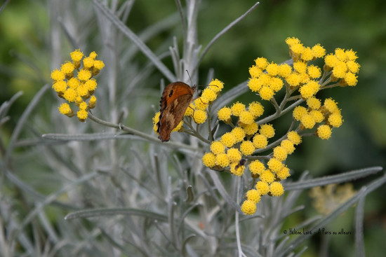 Butterfly in Helichrysum italicum by parisouailleurs