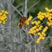 Butterfly in Helichrysum italicum