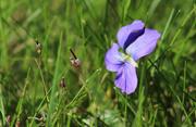 15th Jul 2018 - Little wildflower in grass