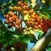Rowan Berries by carole_sandford
