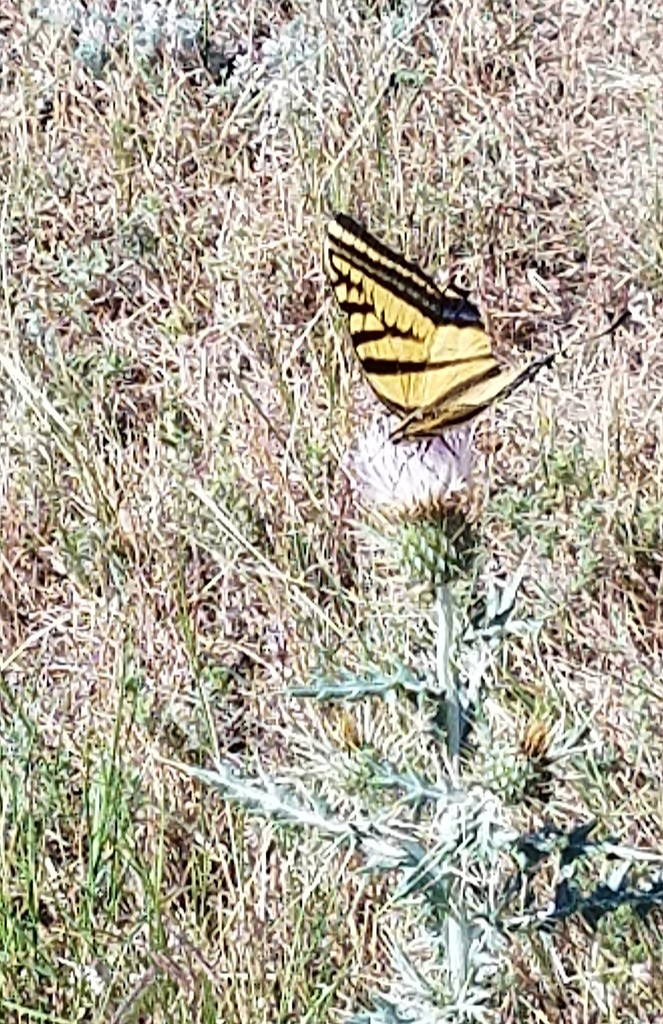 Butterfly on Thistle  by wyomingsis