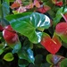 Anthurium....A New Large Variety ~