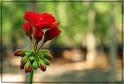 15th Jul 2018 - Red Geranium