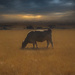 Its A Cows Life by mikegifford