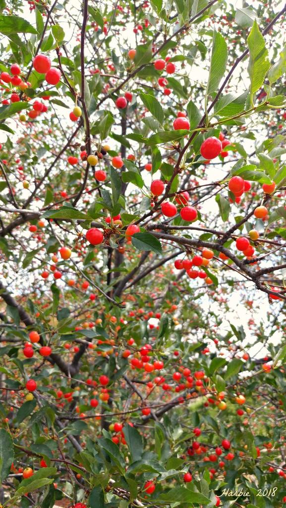 Lots of Cherries by harbie