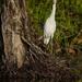 Curious egret