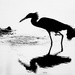Silhouette of Little Blue Heron