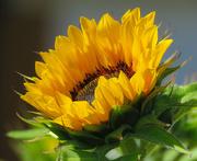 16th Jul 2018 - Sunlit Sunflower