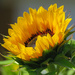 Sunlit Sunflower by seattlite