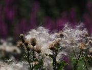 16th Jul 2018 - Thistle seeds
