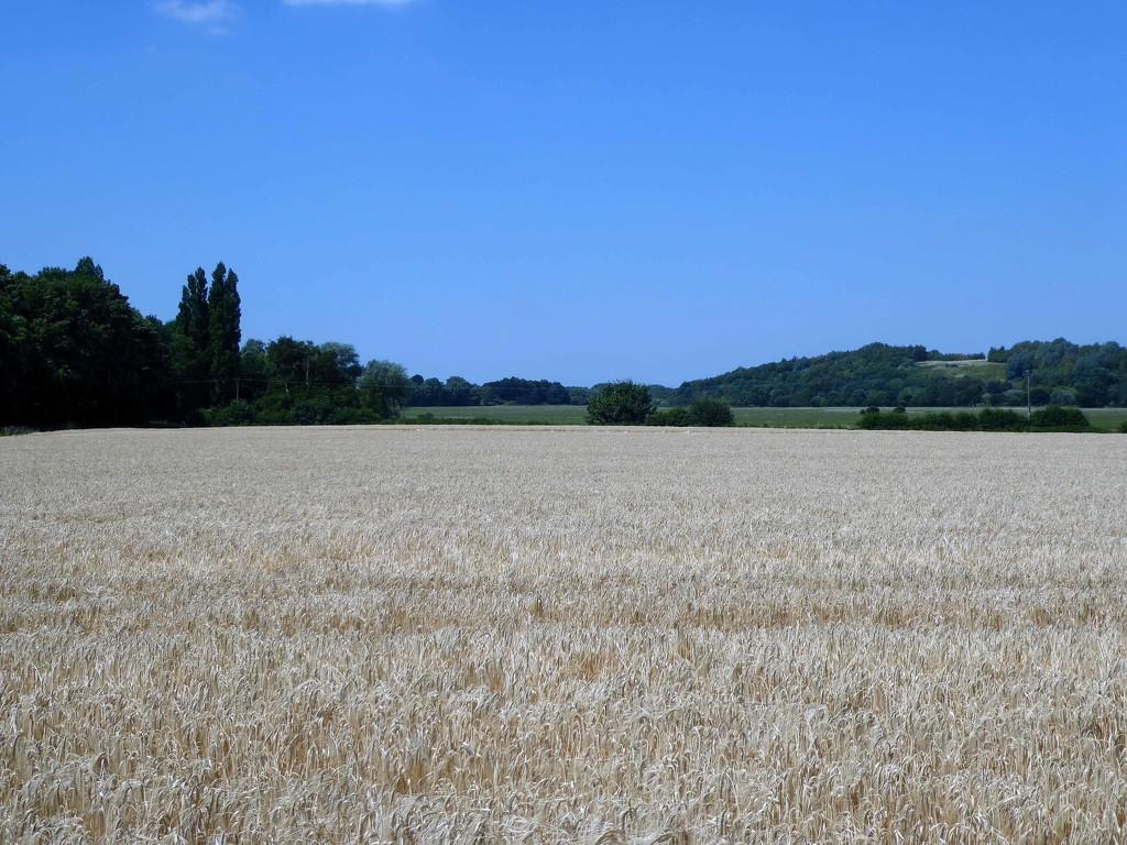 Wheat Field by cmp