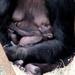 Gorilla Baby Ali