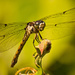 Dragonfly on the Bud! by rickster549