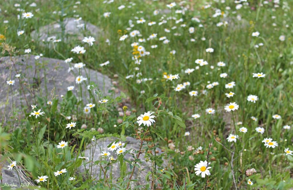 Field of Daisies by harbie