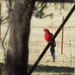 King parrot in for a drink.