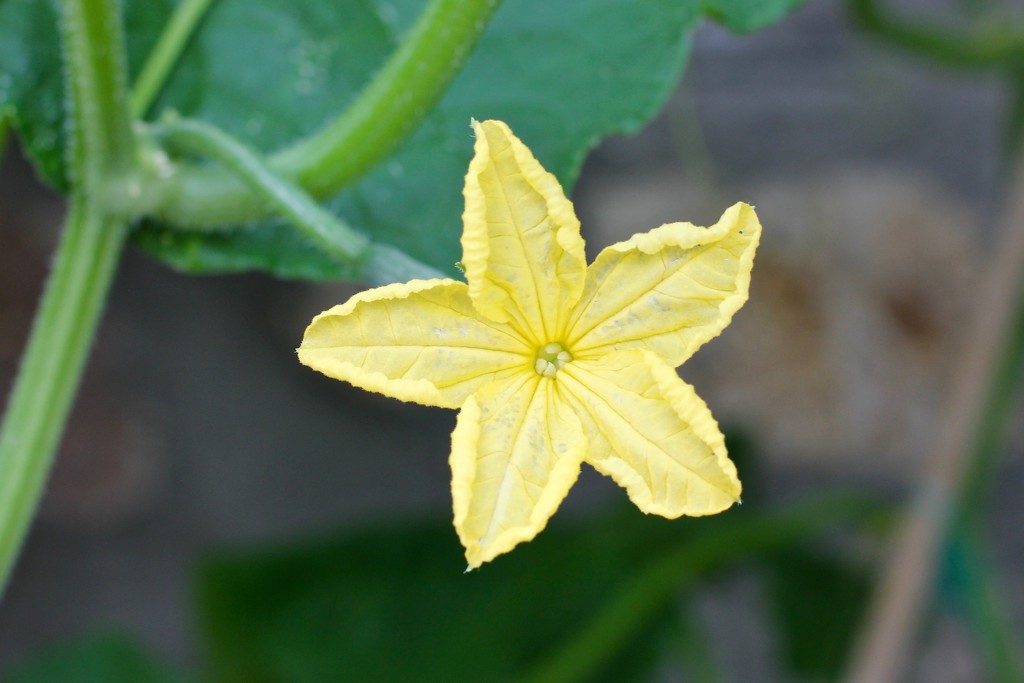 The flower of the cucumber by jamibann