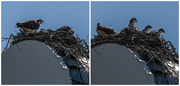 16th Jul 2018 - Ospreys in the Tower