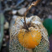 Cape Gooseberry by mv_wolfie