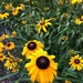 Our Black Eyed Susans