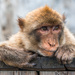 Gibraltar Monkey by kwind