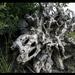 Oregon Driftwood
