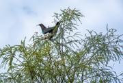 18th Jul 2018 - Kereru - NZ Pigeon