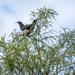 Kereru - NZ Pigeon