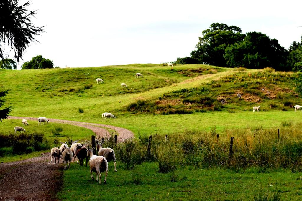 sheep by christophercox