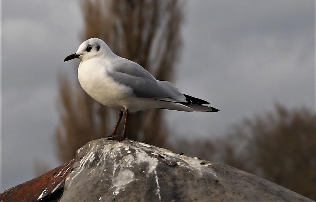 Gull by lumpiniman