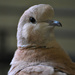 Day 191: Little Brown Dove