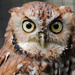 Day 193: Red-Phased Screech Owl