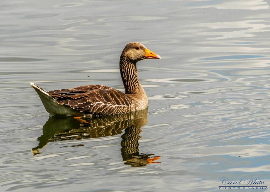 Greylag Goose by carolmw